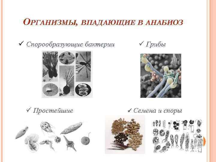 ОРГАНИЗМЫ, ВПАДАЮЩИЕ В АНАБИОЗ ü Спорообразующие бактерии ü Простейшие ü Грибы ü Семена и