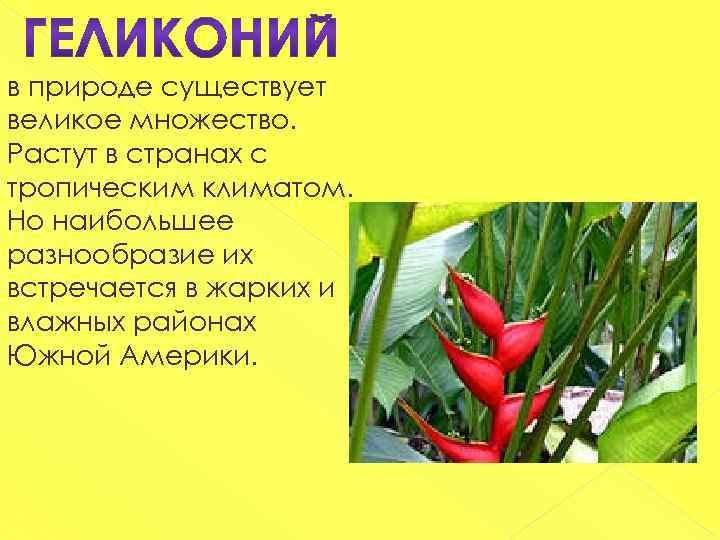 в природе существует великое множество. Растут в странах с тропическим климатом. Но наибольшее разнообразие