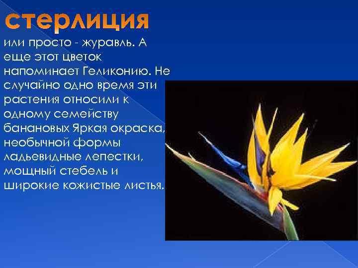 или просто - журавль. А еще этот цветок напоминает Геликонию. Не случайно одно время