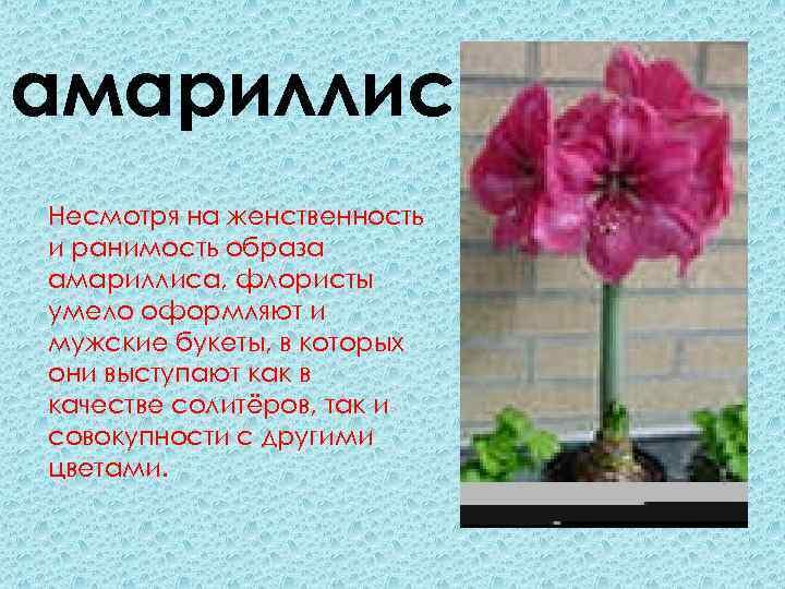 амариллис Несмотря на женственность и ранимость образа амариллиса, флористы умело оформляют и мужские букеты,