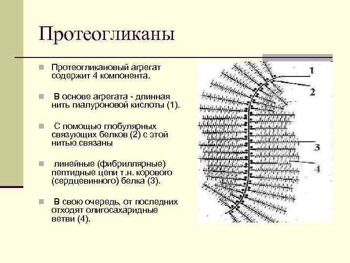 Протеогликаны n Протеогликановый агрегат содержит 4 компонента. n В основе агрегата - длинная нить