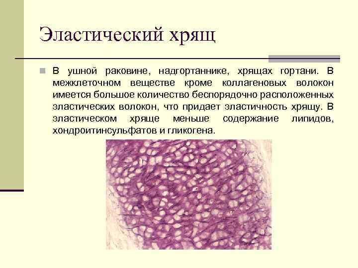 Эластический хрящ n В ушной раковине, надгортаннике, хрящах гортани. В межклеточном веществе кроме коллагеновых