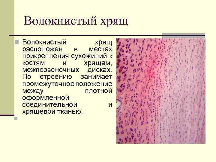 Волокнистый хрящ n Волокнистый хрящ расположен в местах прикрепления сухожилий к костям и хрящам,