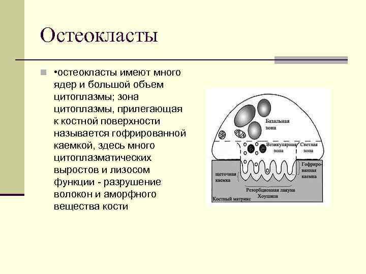 Остеокласты n • остеокласты имеют много ядер и большой объем цитоплазмы; зона цитоплазмы, прилегающая