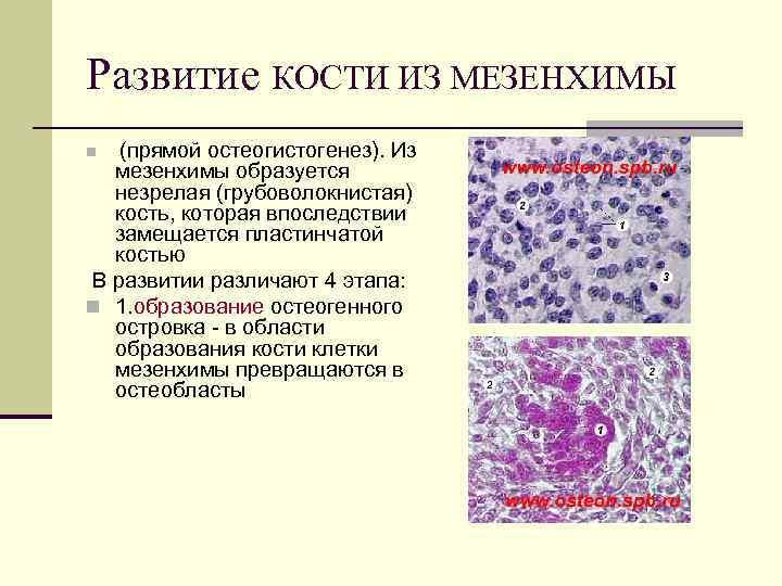 Развитие КОСТИ ИЗ МЕЗЕНХИМЫ (прямой остеогистогенез). Из мезенхимы образуется незрелая (грубоволокнистая) кость, которая впоследствии
