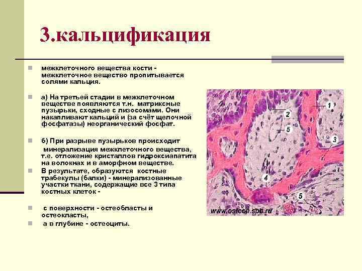 3. кальцификация n межклеточного вещества кости межклеточное вещество пропитывается солями кальция. n а) На