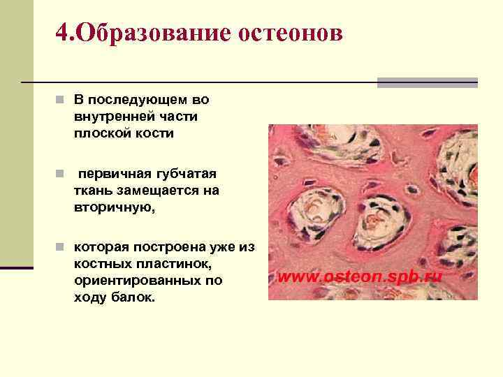 4. Образование остеонов n В последующем во внутренней части плоской кости n первичная губчатая