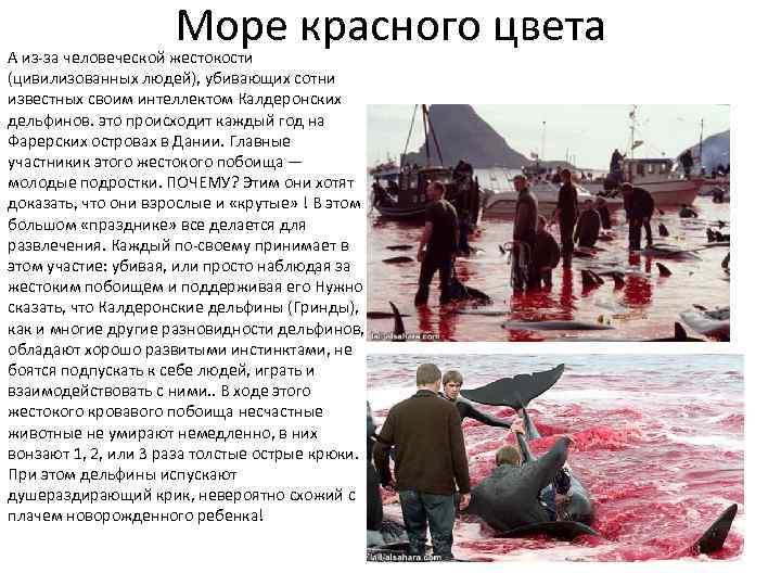Море красного цвета А из-за человеческой жестокости (цивилизованных людей), убивающих сотни известных своим интеллектом