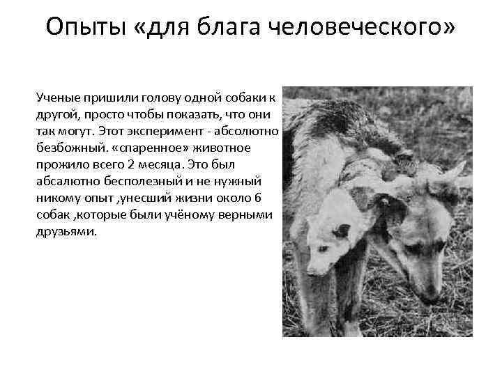 Опыты «для блага человеческого» Ученые пришили голову одной собаки к другой, просто чтобы показать,