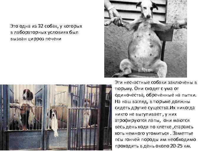 Это одна из 32 собак, у которых в лабораторных условиях был вызван цирроз печени