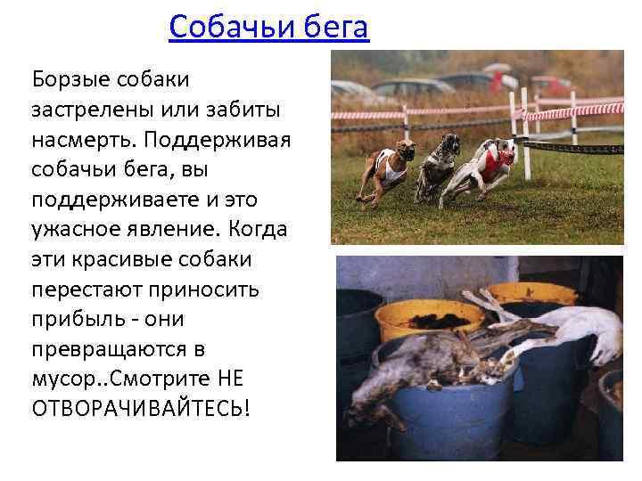 Собачьи бега Борзые собаки застрелены или забиты насмерть. Поддерживая собачьи бега, вы поддерживаете и