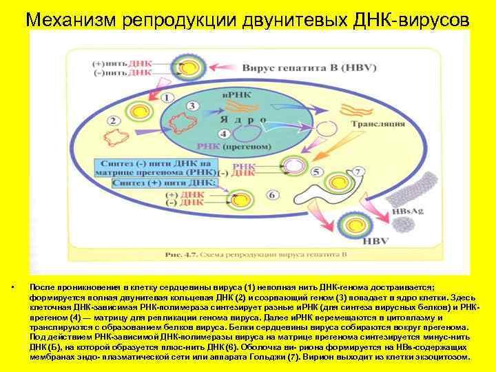 Механизм репродукции двунитевых ДНК-вирусов • После проникновения в клетку сердцевины вируса (1) неполная нить
