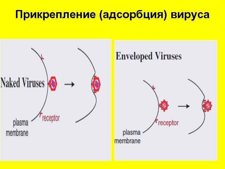 Прикрепление (адсорбция) вируса