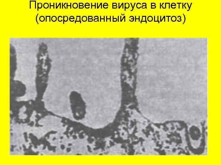 Проникновение вируса в клетку (опосредованный эндоцитоз)