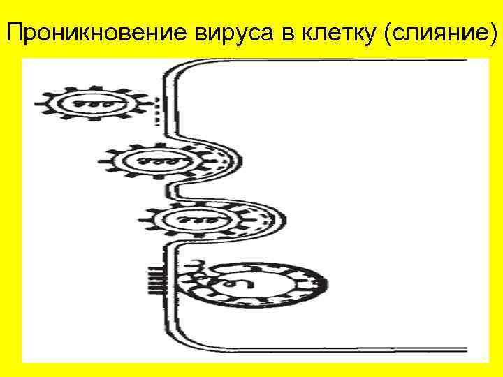 Проникновение вируса в клетку (слияние)