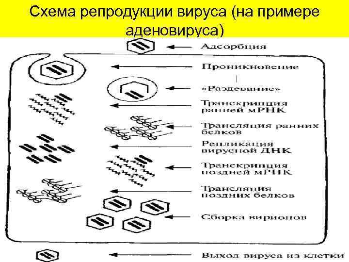 Схема репродукции вируса (на примере аденовируса)