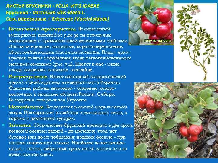 ЛИСТЬЯ БРУСНИКИ - FOLIA VITIS IDAEAE Брусника - Vaccinium vitis-idaea L. Сем. вересковые –