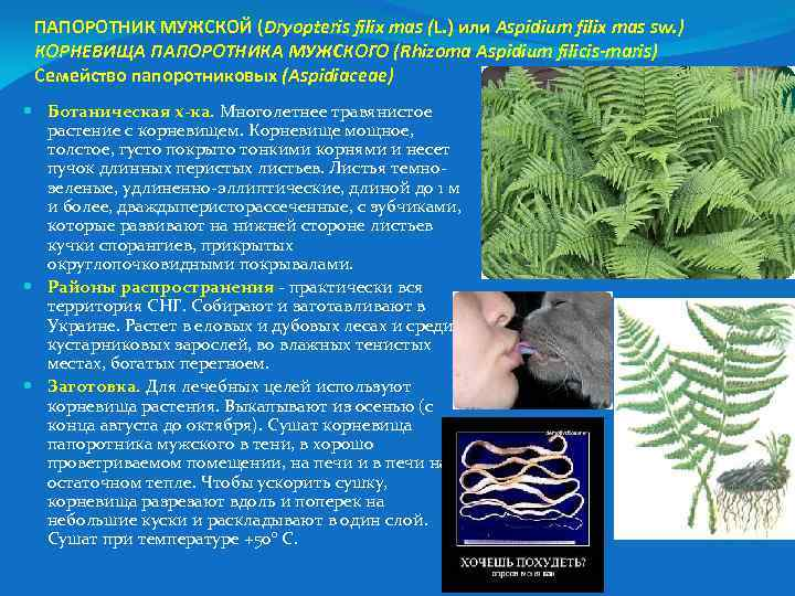 ПАПОРОТНИК МУЖСКОЙ (Dryopteris filix mas (L. ) или Aspidium filix mas sw. ) КОРНЕВИЩА