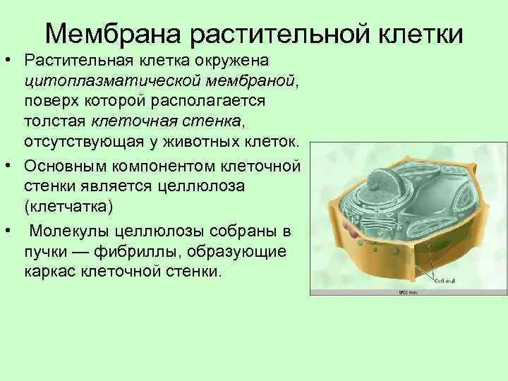 Мембрана растительной клетки • Растительная клетка окружена цитоплазматической мембраной, поверх которой располагается толстая клеточная
