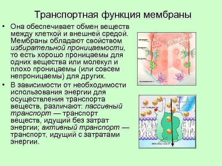 Транспортная функция мембраны • Она обеспечивает обмен веществ между клеткой и внешней средой. Мембраны