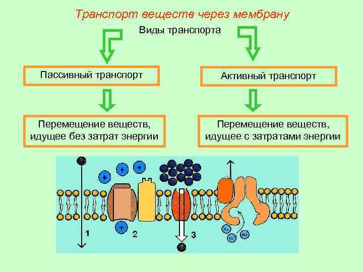 Транспорт веществ через мембрану Виды транспорта Пассивный транспорт Перемещение веществ, идущее без затрат энергии