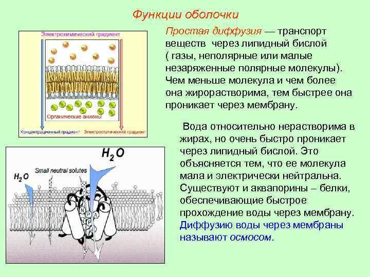 Функции оболочки Простая диффузия — транспорт веществ через липидный бислой ( газы, неполярные или