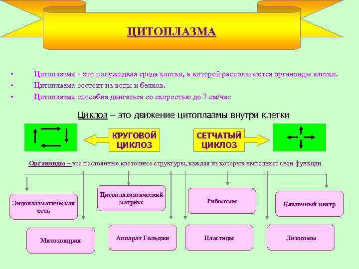 ЦИТОПЛАЗМА • • • Цитоплазма – это полужидкая среда клетки, в которой располагаются органоиды