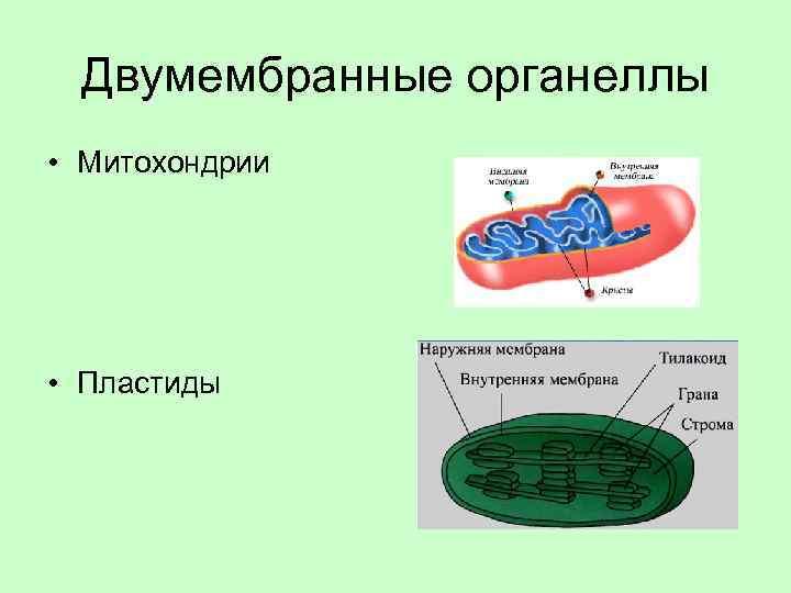 Двумембранные органеллы • Митохондрии • Пластиды