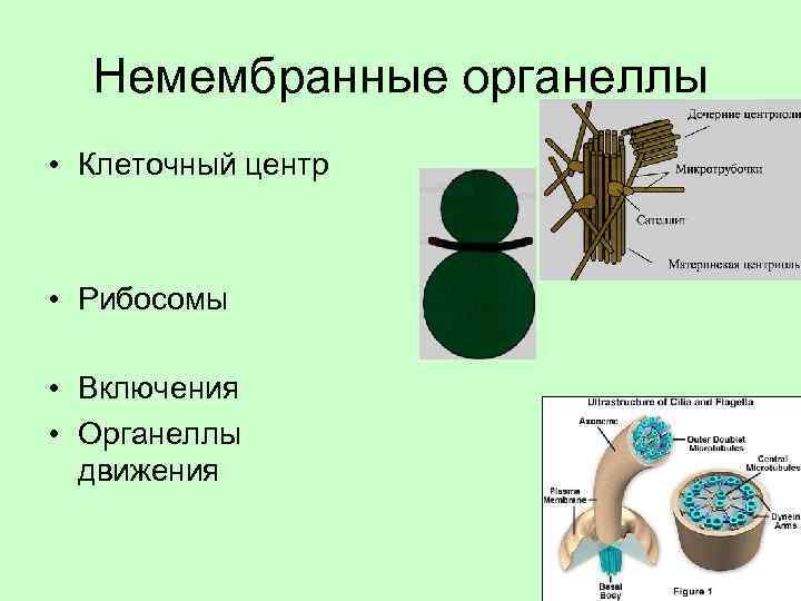 Немембранные органеллы • Клеточный центр • Рибосомы • Включения • Органеллы движения