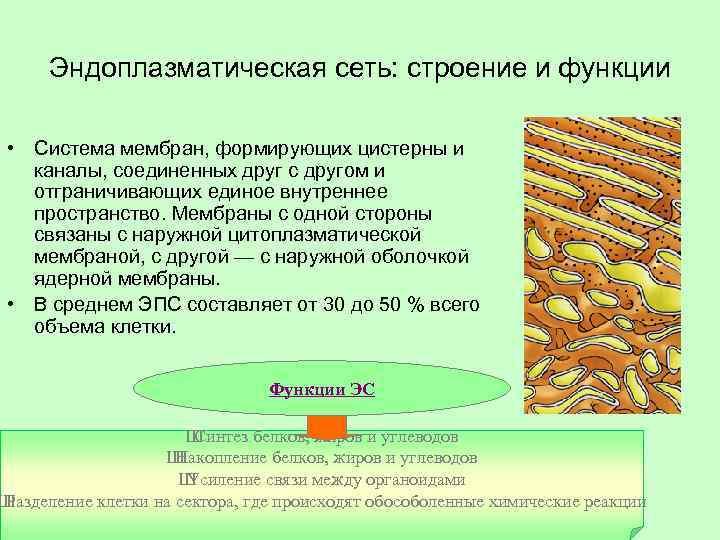 Эндоплазматическая сеть: строение и функции • Система мембран, формирующих цистерны и каналы, соединенных друг