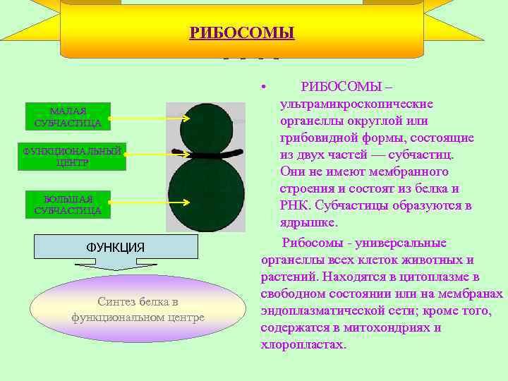 РИБОСОМЫ Рибосомы • МАЛАЯ СУБЧАСТИЦА ФУНКЦИОНАЛЬНЫЙ ЦЕНТР БОЛЬШАЯ СУБЧАСТИЦА ФУНКЦИЯ Синтез белка в функциональном