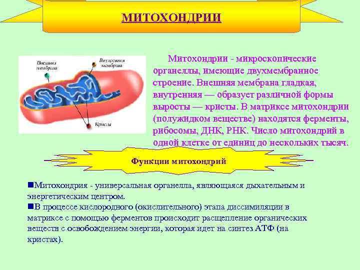 МИТОХОНДРИИ • Митохондрии - микроскопические органеллы, имеющие двухмембранное строение. Внешняя мембрана гладкая, внутренняя —