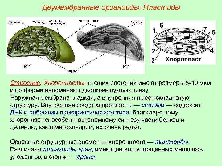 Двумембранные органоиды. Пластиды Строение. Хлоропласты высших растений имеют размеры 5 -10 мкм и по