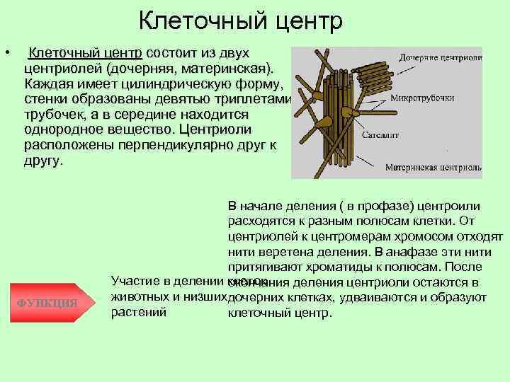 Клеточный центр • Клеточный центр состоит из двух центриолей (дочерняя, материнская). Каждая имеет цилиндрическую
