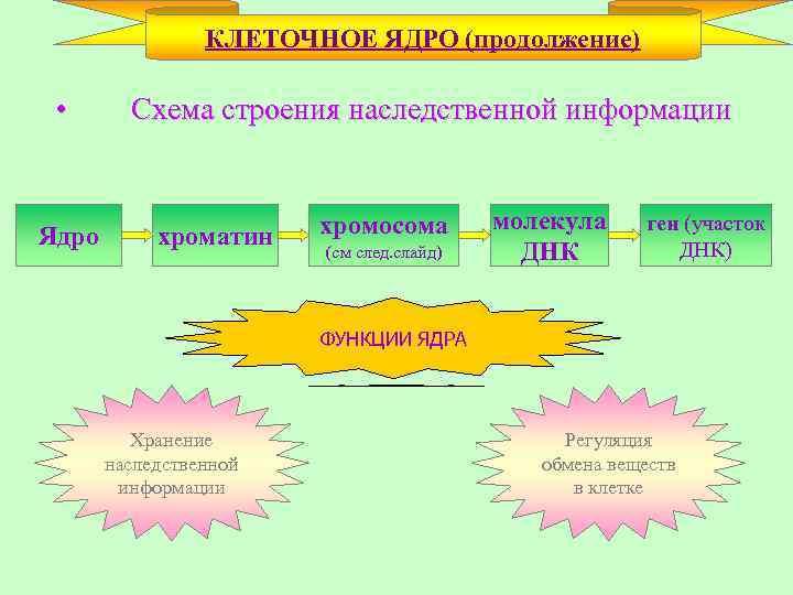 КЛЕТОЧНОЕ ЯДРО (продолжение) • Ядро Схема строения наследственной информации хроматин хромосома (см след. слайд)