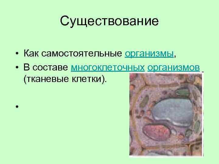 Существование • Как самостоятельные организмы, • В составе многоклеточных организмов (тканевые клетки). •