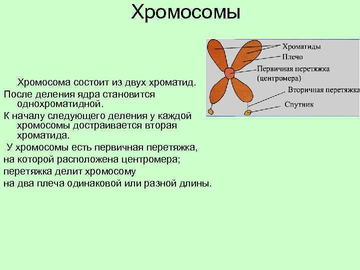 Хромосомы Хромосома состоит из двух хроматид. После деления ядра становится однохроматидной. К началу следующего
