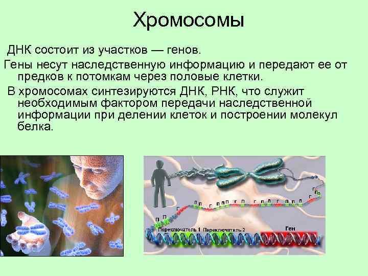 Хромосомы ДНК состоит из участков — генов. Гены несут наследственную информацию и передают ее