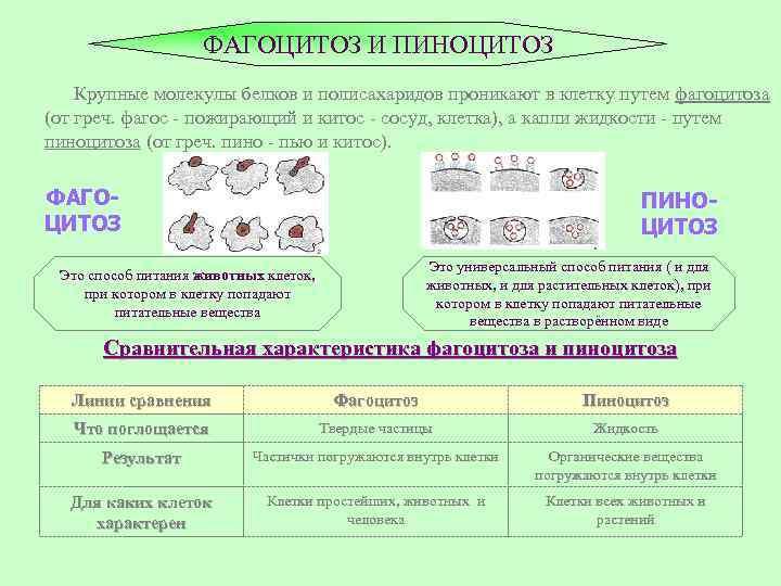 ФАГОЦИТОЗ И ПИНОЦИТОЗ Крупные молекулы белков и полисахаридов проникают в клетку путем фагоцитоза (от