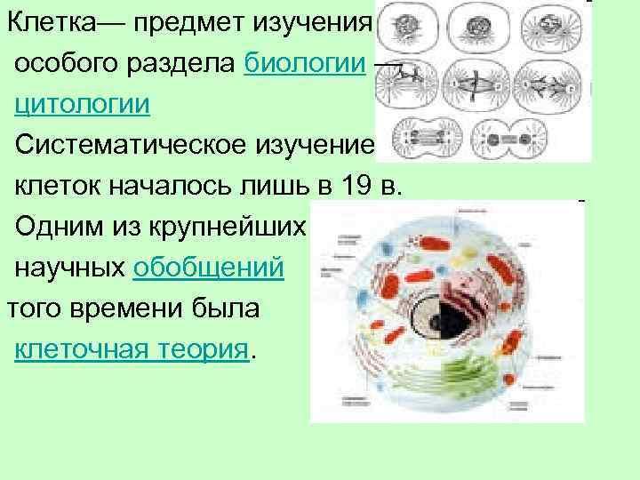 Клетка— предмет изучения особого раздела биологии — цитологии Систематическое изучение клеток началось лишь в
