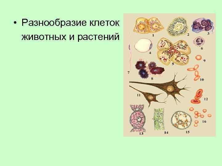 • Разнообразие клеток животных и растений