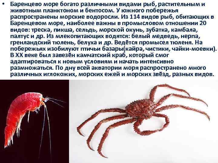 • Баренцево море богато различными видами рыб, растительным и животным планктоном и бентосом.