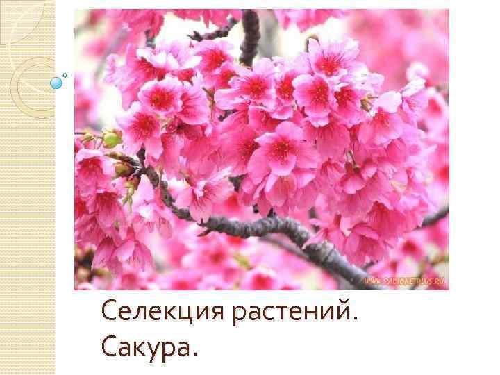 Селекция растений. Сакура.