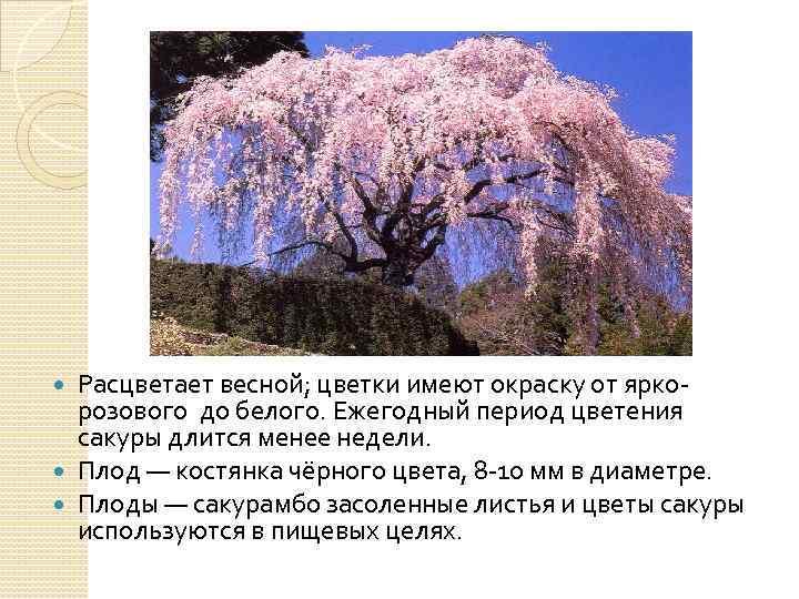 Расцветает весной; цветки имеют окраску от яркорозового до белого. Ежегодный период цветения сакуры длится