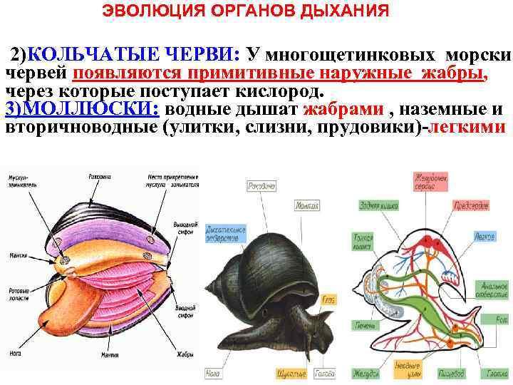 ЭВОЛЮЦИЯ ОРГАНОВ ДЫХАНИЯ 2)КОЛЬЧАТЫЕ ЧЕРВИ: У многощетинковых морских червей появляются примитивные наружные жабры, через
