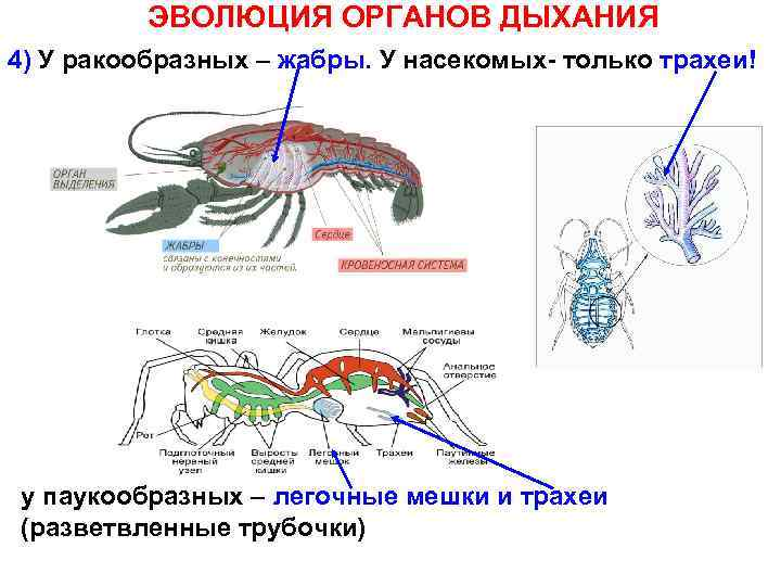 ЭВОЛЮЦИЯ ОРГАНОВ ДЫХАНИЯ 4) У ракообразных – жабры. У насекомых- только трахеи! у паукообразных