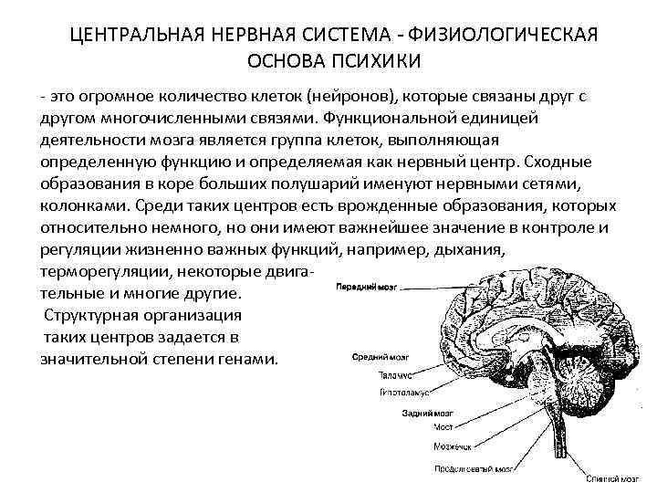 ЦЕНТРАЛЬНАЯ НЕРВНАЯ СИСТЕМА - ФИЗИОЛОГИЧЕСКАЯ ОСНОВА ПСИХИКИ - это огромное количество клеток (нейронов), которые