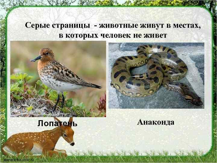 Серые страницы - животные живут в местах, в которых человек не живет Лопатень Анаконда