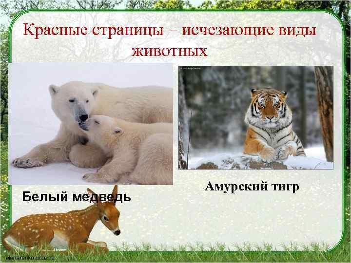 Красные страницы – исчезающие виды животных Белый медведь Амурский тигр