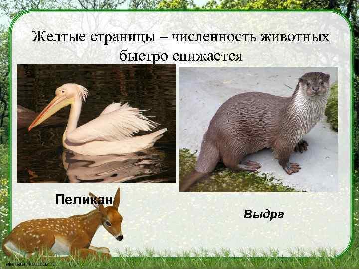 Желтые страницы – численность животных быстро снижается Пеликан Выдра